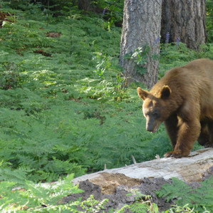 Bear Savvy Girl Scouts