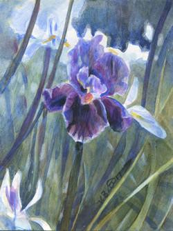 Iris a symbol of Hope