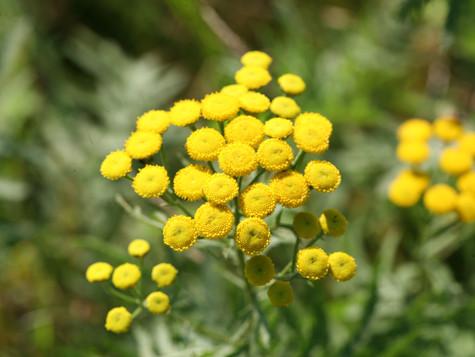 Уникальная коллекция: цветы-пуговки