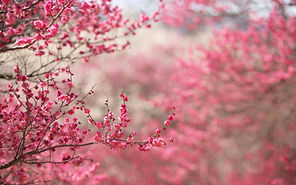 Japanese-Flowers-Wallpapers-0.jpg