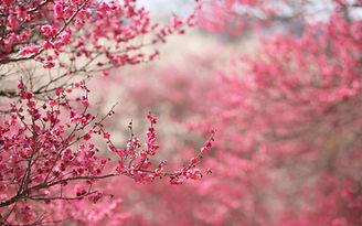 Japanese-Flowers-Wallpapers-0.jpg