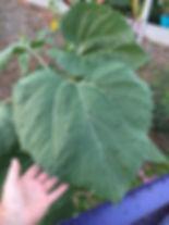 a leaf is chosen