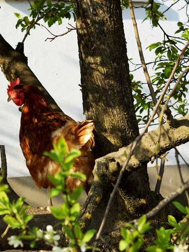 Frühstückseier von eigenen Hühner