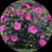 berry-perennial-circle.png