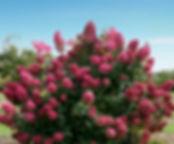 hydrangea-580px.jpg