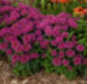 monarda_pardon_my_purple_300px.jpg
