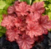 peachberry-ice-300px.jpg
