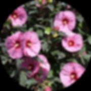 hibiscus-circle2.png