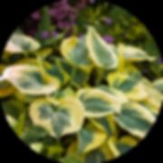 hosta-leaves-circle.png