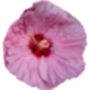 hibiscus-outlined-300px.png