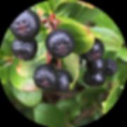 lowcape-berries.png
