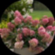 hydrangea-circle-1.png