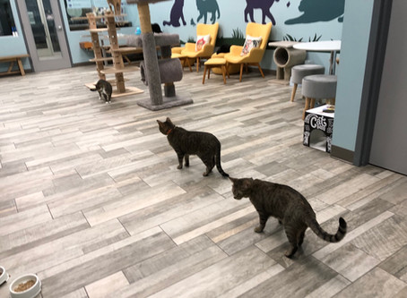 NEW CAT CAFE OPENING JULY 6