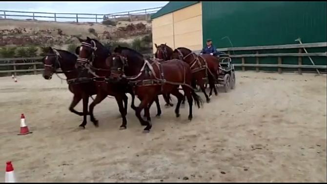 Driving Alhamilla mare's