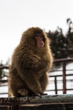 Snow Monkeys Japan 2019