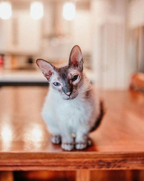 Vespurr 😻#sphinxcat #sphynx #catsofinst