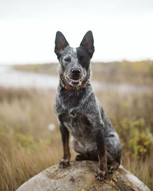 Pure Bred Blue Heeler Sitting On Rock Pet Portrait