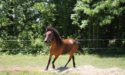Mustang trotting