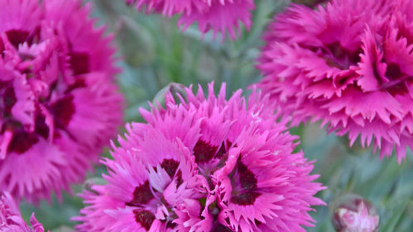 Dianthus Spiked Punch