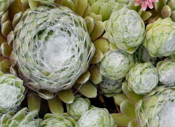 Sempervivum Cobweb
