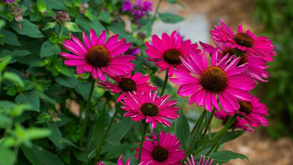 Echinacea Kismet Raspberry