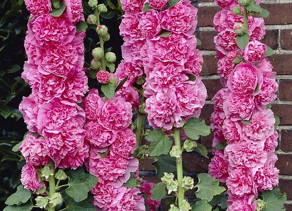 Althea/Alcea Chater's Double Rose