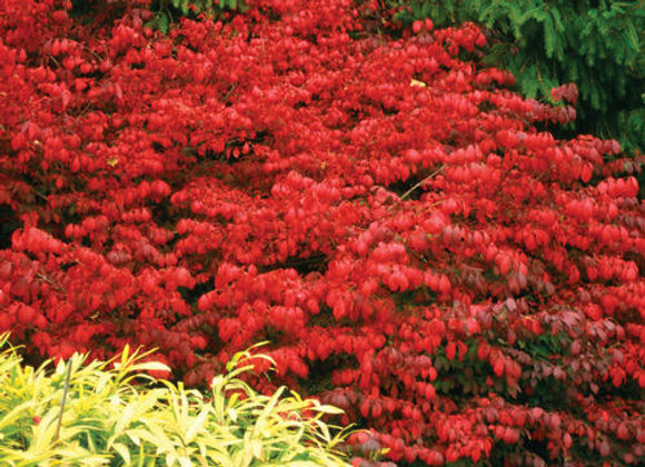 Euonymus alata Fire Ball