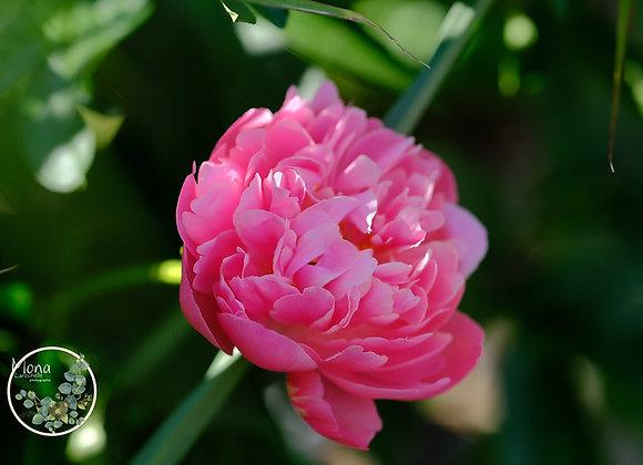 Paeonia Pink Hawain Coral