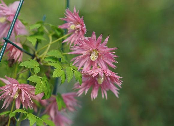 Clematis macropetala Sparky Pink