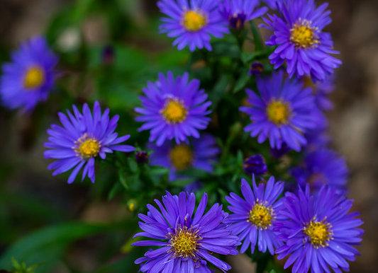 Aster dumosus Violet Carpet