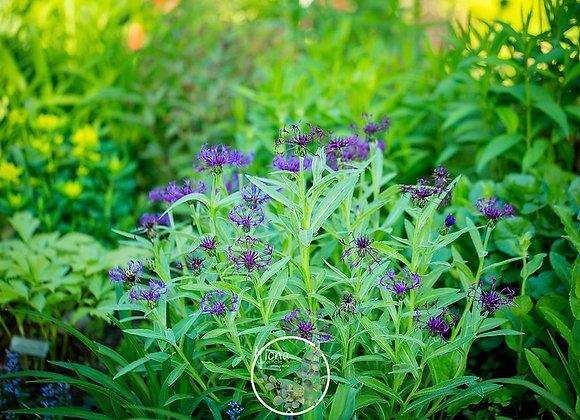 Centaurea montana Purple Prose