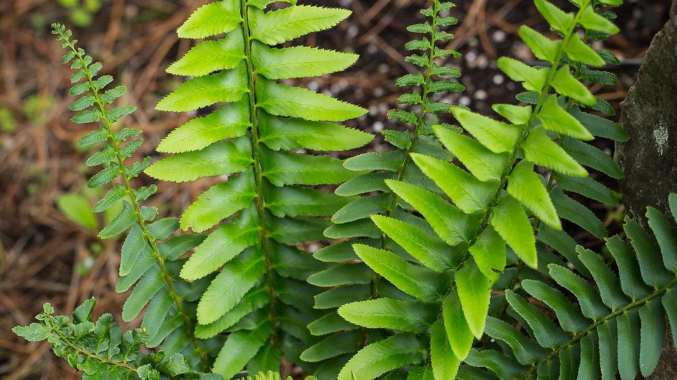 Fougère Polystichum arcostichoides