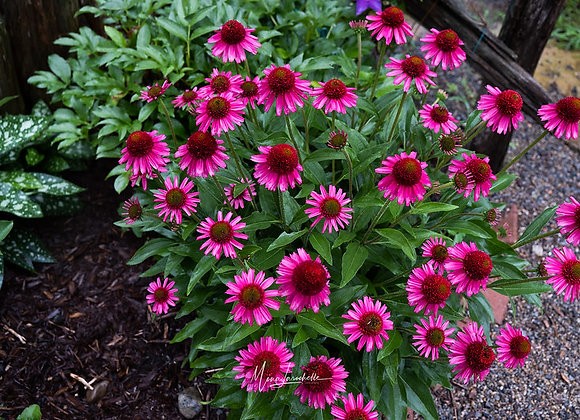 Echinacea Delicious Candy