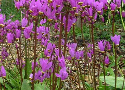 Dodecatheon (aka primula) meadia Lilac