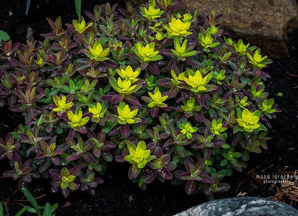 Euphorbia Bonfire
