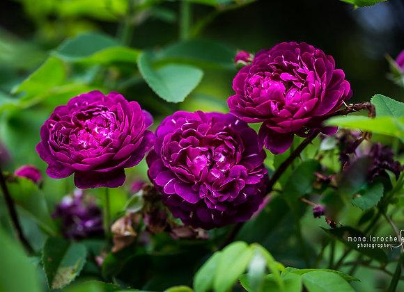 Rosa Ombrée Parfaite