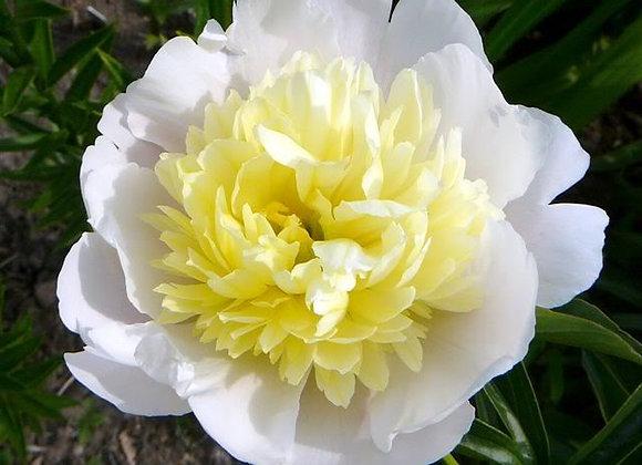 Paeonia lactiflora Primavera