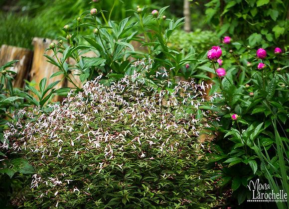 Porteranthus aka Gillenia trifoliata