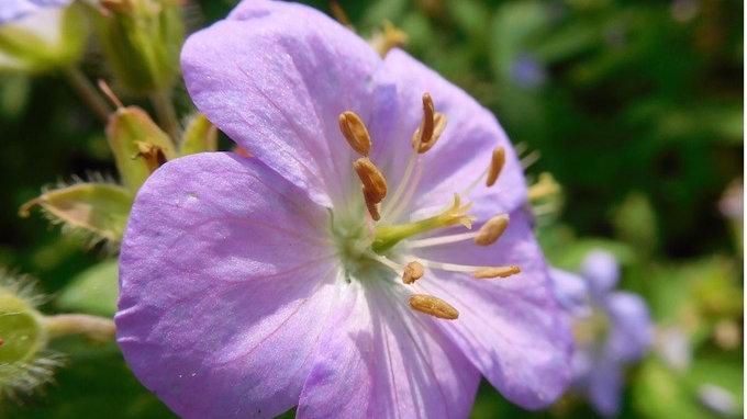 Geranium maculatum Chatto