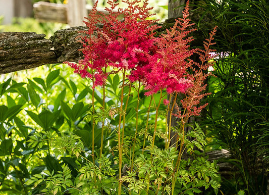 Astilbe Mighty Red Quin