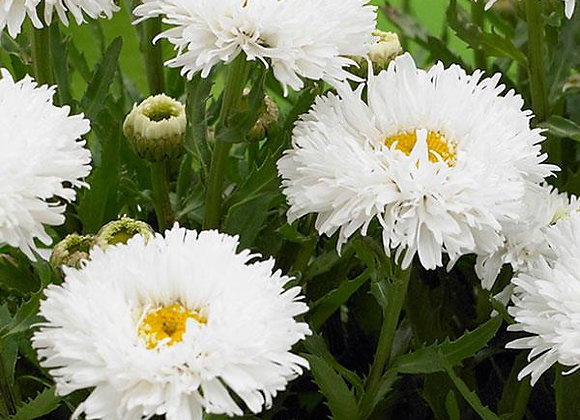 Leucanthemum Ooh La LaSpider