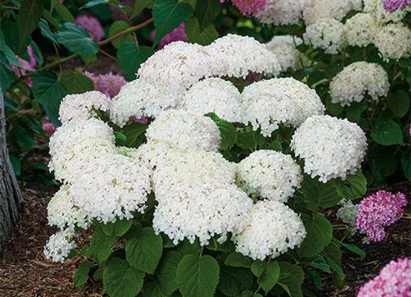 Hydrangea arborescens Invincibelle Wee White