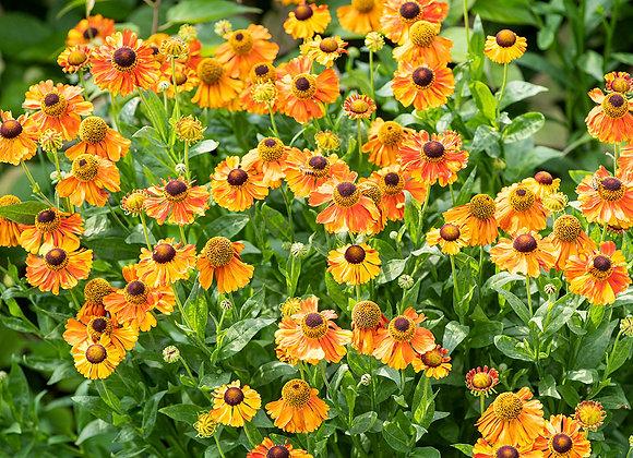 Helenium Early Flowerer