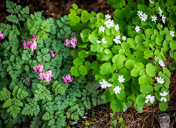 Dicentra formosa King of Heart