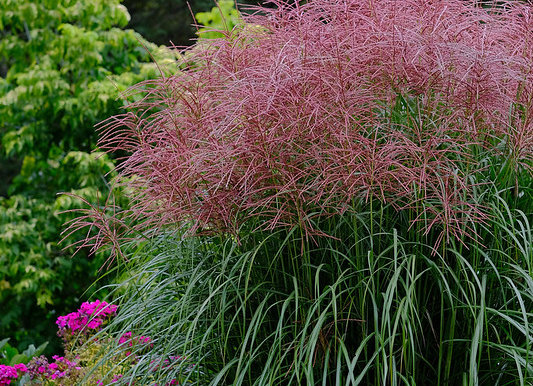 Graminée Miscanthus Morning Light
