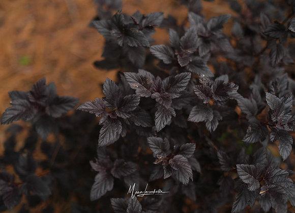 Physocarpus Summer Wine Black