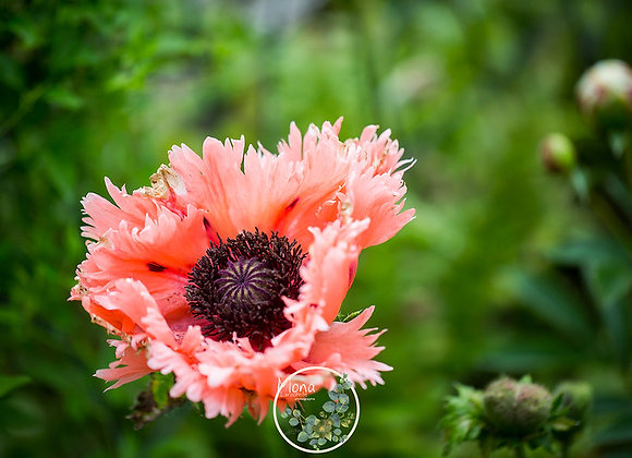 Papaver Fancy Feathers