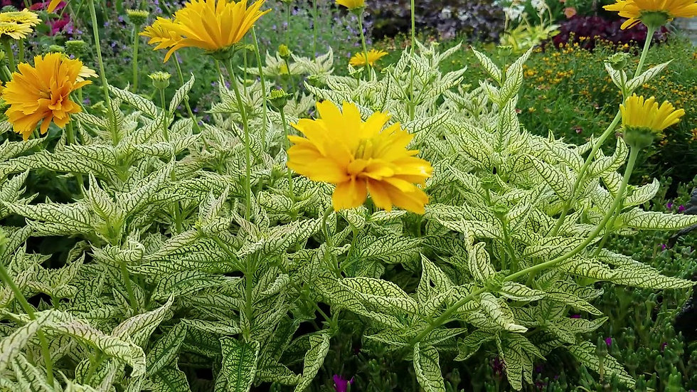 Heliopsis helianthoides Double Sunstruck