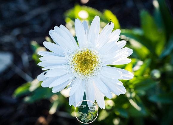 Leucanthemum Highland White Dream