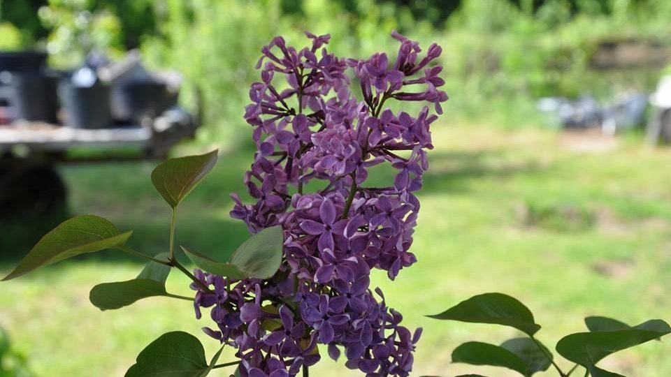 Syringa hyacinthiflora Lover's Spell